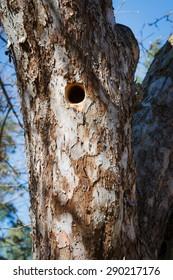 Woodpecker nest in apple tree