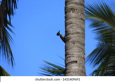 Woodpecker on the go! This bird into work in a coconut tree, carving what is needed for the self survival.