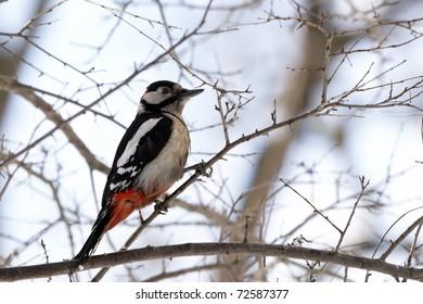 Woodpecker on tree;s branch
