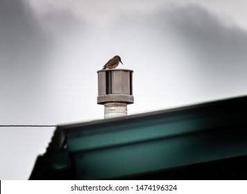 A woodpecker sits on a home's metal roof vent, getting ready to tap on it, when it hears movement from inside and thinks it is bugs.