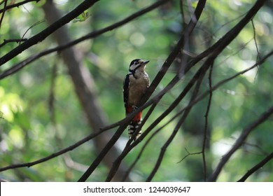 Woodpecker-a bird from the family of woodpeckers, which has about 220 species. The most common — large and small motley woodpecker. Its main habitat is North Africa and Europe
