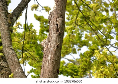 Woodpeckers have created a nesting cavity in a dead trunk of an Elm tree.