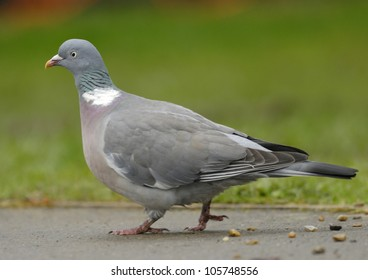 Woodpigeon in an English park