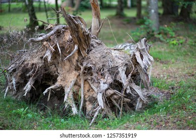 in the woods tree roots uprooted by the storm
