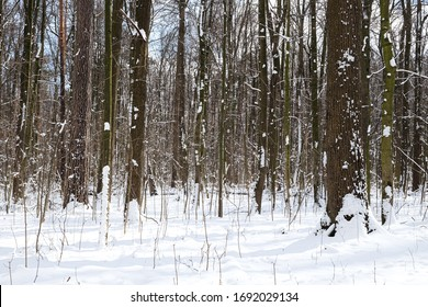 Woods in winter with snow in the park of Moscow
