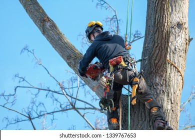 woodsman in the top of a tree sawing with a chainsaw