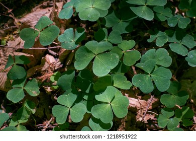 Wood-sorrel plant closeup in sun, Bialowieza Forest, Poland, Europe