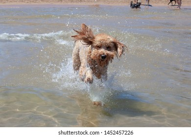 Woody the apricot colored Goldendoodle runs through the Lake Michigan water with his ears and fur flying at a Chicago dog beach