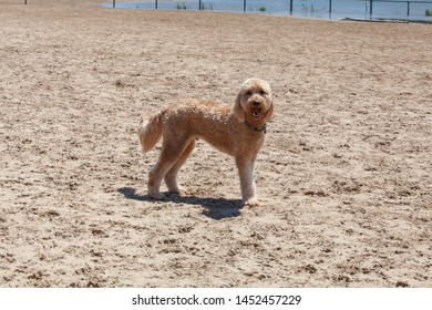 Woody the apricot colored Goldendoodle stands on the sand at a Chicago beach
