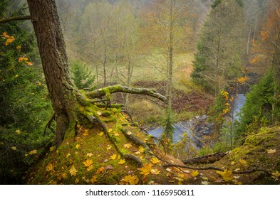 woody valley in autumn with the forest river in the background and the roots of the old pine in the foreground