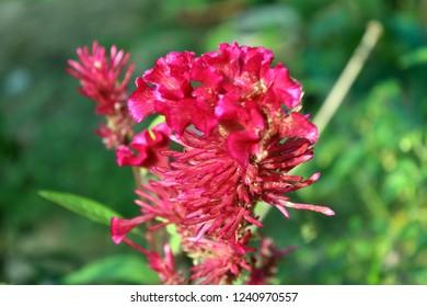 Wool flower or Cockscomb or Celosia Argentea flower in nature