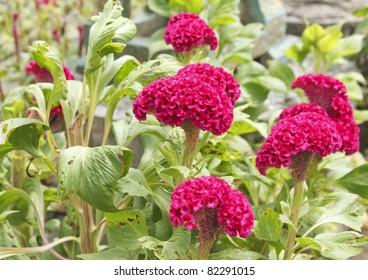 Wool flower or Cockscomb or Celosia Argentea L. var cristata (L.) Kuntze, which looks like Chicken's Cockscomb