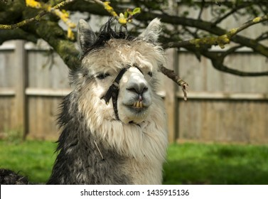 Wooley brown llama with crooked teeth