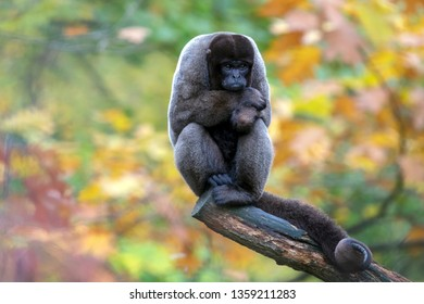 Woolly monkey sitting on wooden log