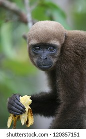 A Woolly Monkey in a tree along a river in the Amazon Rainforest