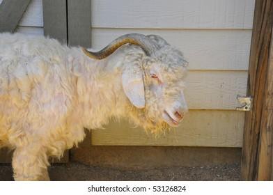 Woolly ram