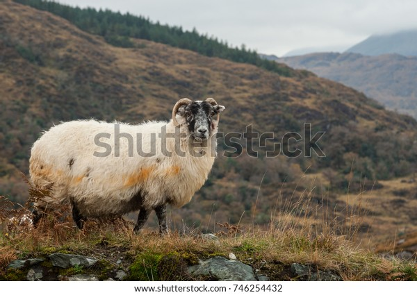 Woolly sheep grazing in the hills of the Ring of Kerry, Ireland