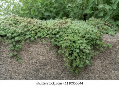Woolly Thyme Thymus lanuginosus creeping over stone wall planter in backyard garden