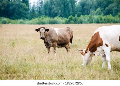 """The word """"cow"""" means a female of the species, and """"domestic bull"""" or """"domestic bull"""" - a male. Bred for meat, skin and milk."""