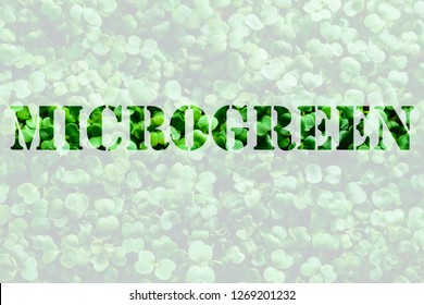 word microgreen on background of microgreen. mustard sprouts. green textural background of natural greens