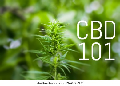 """The words """"CBD 101"""" on a blurred background of cannabis marijuana. The concept of weed, hemp. Copy space"""