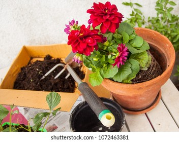 Work in the balcony, transplanting plants with flowers on a table, ambient light.