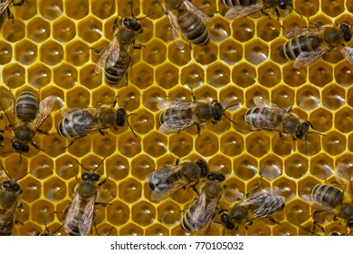 Work bees in hive. Young bees convert nectar into honey