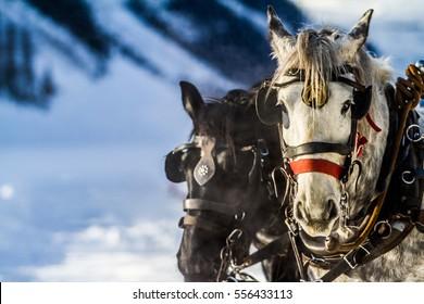 Work horses pulling sleigh