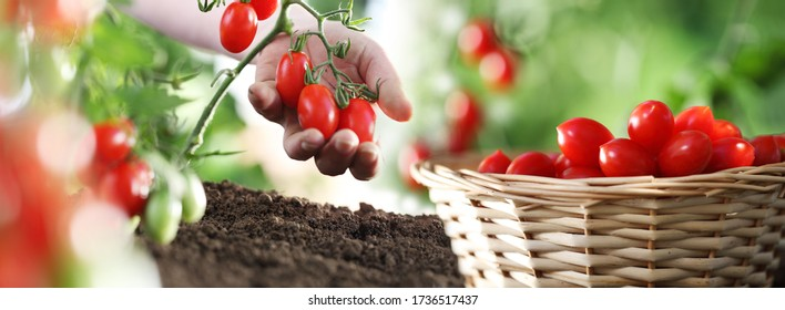 work in vegetable garden hand and basket full of fresh tomatoes cherry from plant, panoramic image