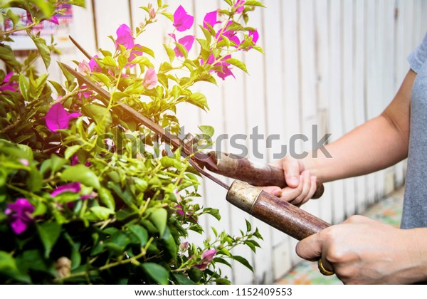 Work-At-Home concept: Closeup of a woman working at home cutting Bougainville in summer near a fence outside.