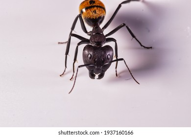 worker of a African golden ant