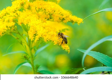 Worker bee collects nectar from a Goldenrod wildflower. Goldenrods are very common wildflowers. All Goldenrods are late bloomers, flowering in late Summer into the Fall.