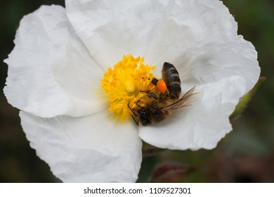 a worker bee enjoying the pollen collection