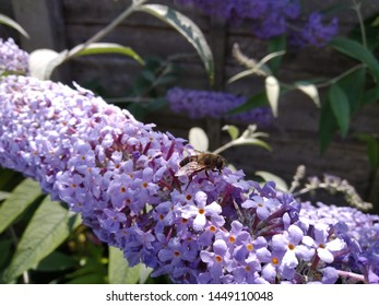 A worker bee on a lilac buddleia in the sun