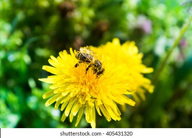 Worker bee on yellow flower with blurred background