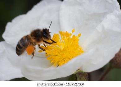 a worker bee is taking pollen and storing them in its bags