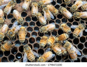 Worker bees, larvae and a drone on a honeycomb; Drone, bottom right of the photo, can be easily distinguished from the worker bees by its eyes that are twice as large as worker bee and its large body.
