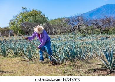 Trabajador en campo de agave azul en Tequila, Jalisco, México