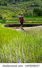 worker caring rice field in the area of banaue,in Philippines