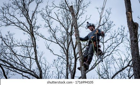 Worker with chainsaw  and helmet hanging from rope and cutting down tree