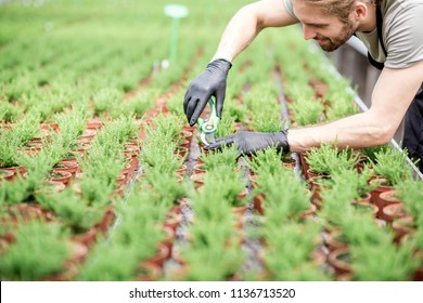 Worker cutting with scissors tops of plants for better growing in the greenhouse of plant production