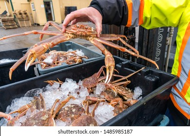 A worker at a dockside commercial processing plant in Newfoundland lifts a fresh caught snow crab from a black plastic bin filled with ice before preparing the crabs for shipment to Japan.