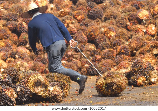 The worker drags the fruit of oil palm.
