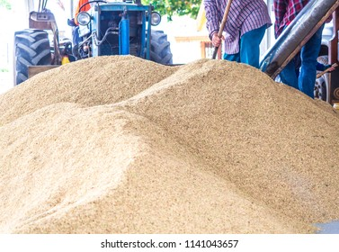 worker is driving a tractor to sweeping paddy rice seeds on the ground after finished drying process outside the rice mill in Lopburi, Thailand. agriculture industry.