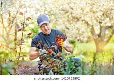 Worker of a garden center cutting rose branches