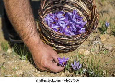 Worker gathering saffron flowers during saffron harvesting season