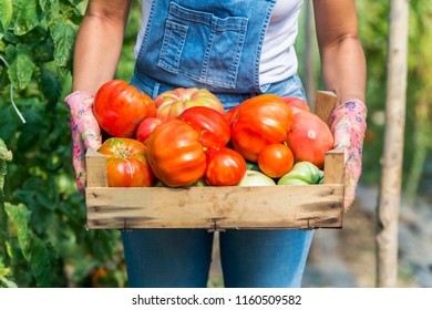 worker in greenhouse holding box of tomatoes. tomato vegetable in greenhouse. tomato isolated