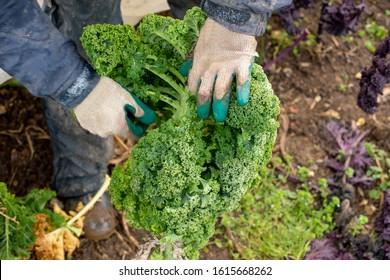 Arbeitnehmer, die eine Grünkabelanlage zur Ernte betreiben