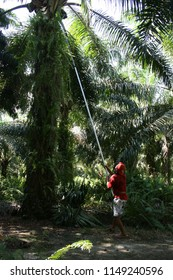 worker is harvesting Palm fruits on Palm oil plantation in indonesia