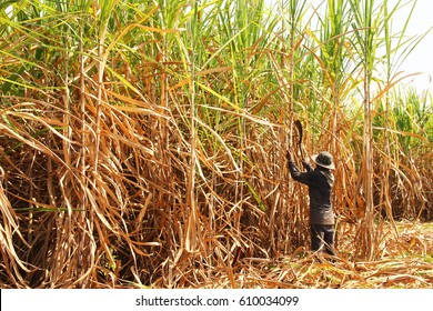 The worker is harvesting the sugarcane